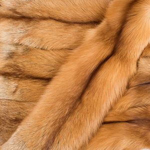 Лисица Red Fox